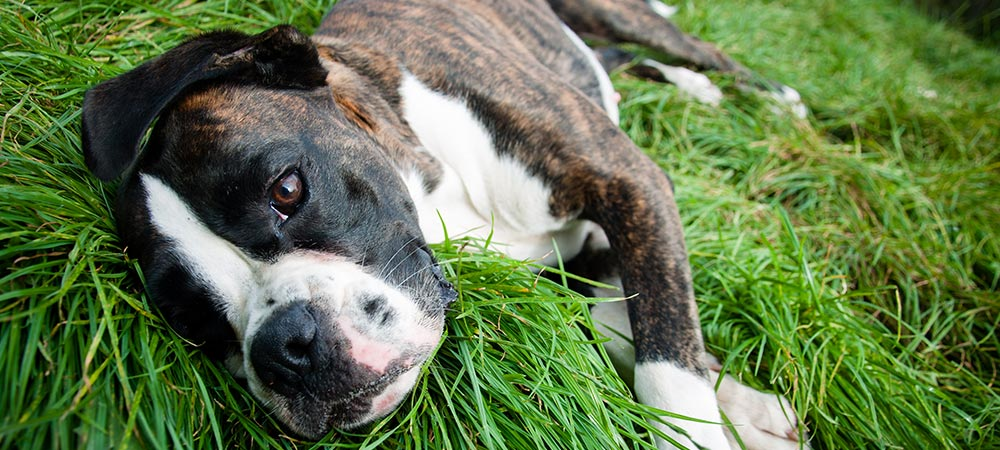 boxer-in-grass